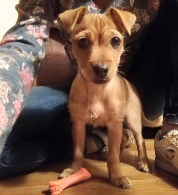 cachorra de tamaño miniatura