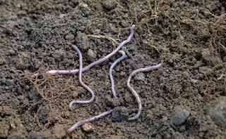 केंचुआ खाद कैसे बनाए और क्या सावधानी बरतनी चाहिए ? (How to make earthworm manure and what precautions should be taken?)