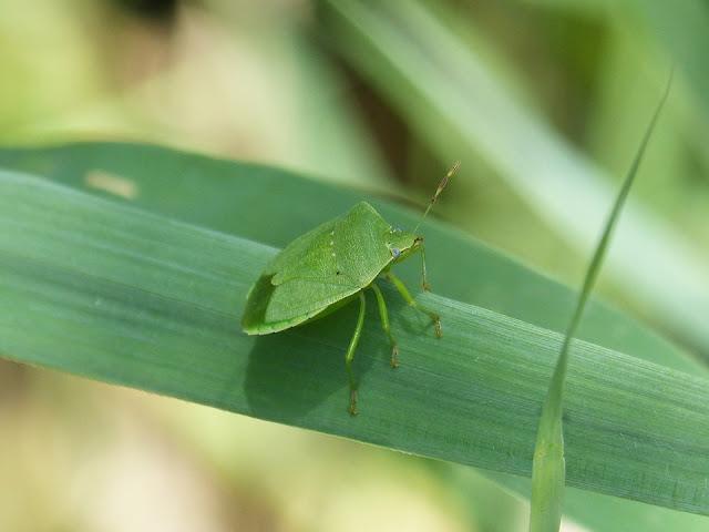 cimice-cimice verde-insetti-piante