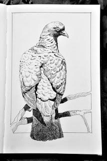 Woodpigeon ink dawing