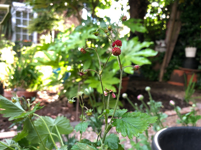 Wild strawberries among greenery in urban garden