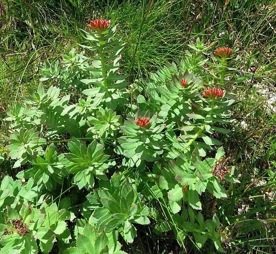 Różeniec górski (Rhodiola rosea L.).
