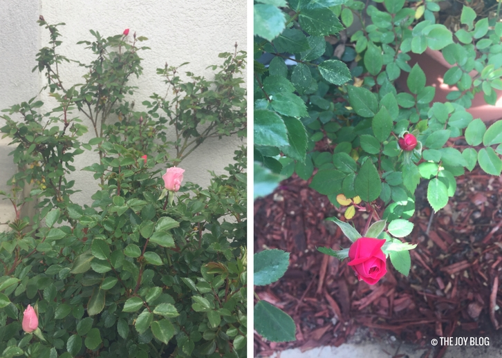 Container-planted roses prepare to bloom / www.thejoyblog.net