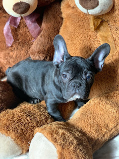 Bulldog Francés Azabache