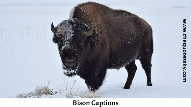 Bison Quotes and Instagram Captions for [ 2021 ]