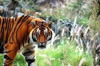 tiger status in hindi, high attitude tiger status