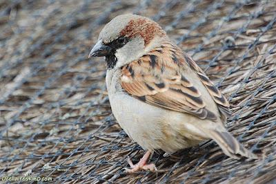 Mascle de pardal comú (Passer domesticus)