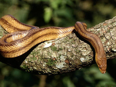 Reptiles Snake Normal Resolution HD Wallpaper 13