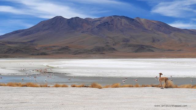 Vicuna and Flamingos, Laguna Hedionda, Uyuni, Bolivia