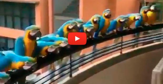 Venezolana alimenta guacamayas en el balcón de apartamento en el este de Caracas
