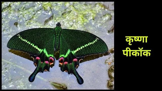 कृष्णा पीकॉक (Krishna Peacock)