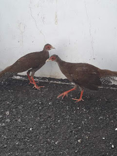 Anakan Silver Pheasant