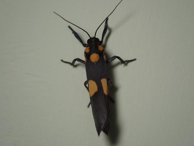 Monosyntaxis sp