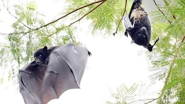 ΠΟΥ: Νυχτερίδες, παγκολίνοι, χοίροι, πτηνά...: τα ζώα που μας μεταδίδουν ιούς