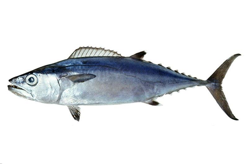 Gambar Jenis Ikan Tuna-Dogtooth tuna (Gymnosarda unicolor)