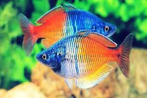 Ikan hias rainbowfish