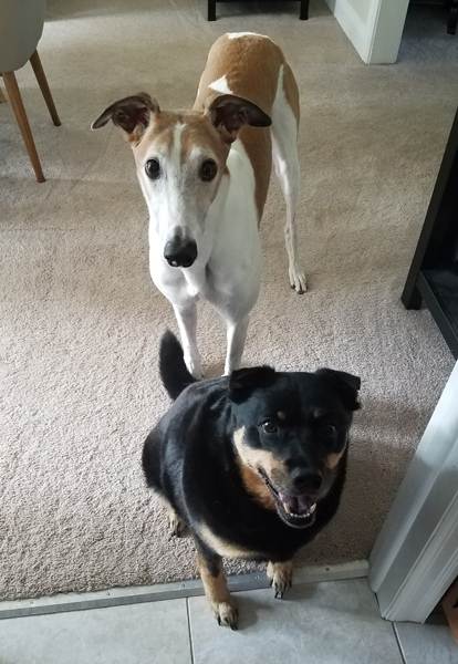 image of Dudley the Greyhound standing in the threshold of the kitchen with Zelda the Black and Tan Mutt sitting right in front of him; they are both looking up at me and grinning