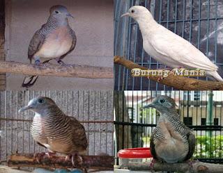 Kompilasi Suara Burung Perkutut Juara Format Mp3