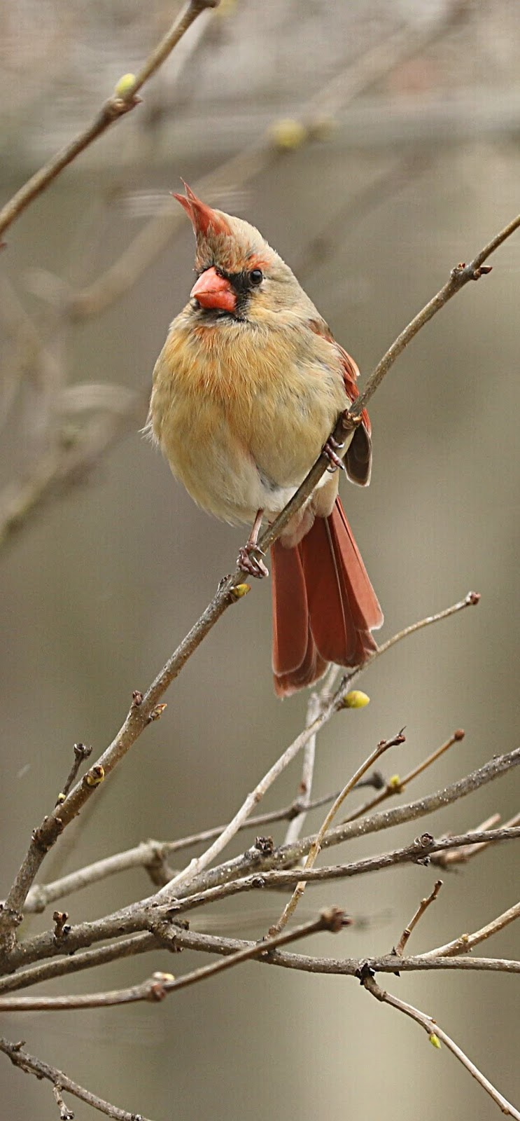 Picture of a female cardinal.