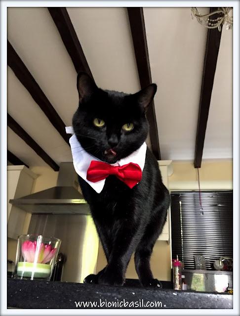 vampire cat, black cat, funny cat