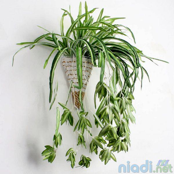 cara merawat tanaman hias spider plant di rumah
