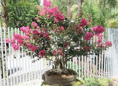 Bonsai Bungur (Lagerstroemia indica)