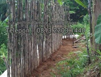 Jual bibit pohon bambu Jepang