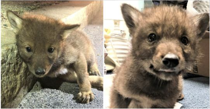 Officer takes in injured, lonely coyote puppy from the side of the parkway and saves his life