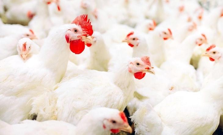 Influenza aviar mata más de 20 mil gallinas en Moca