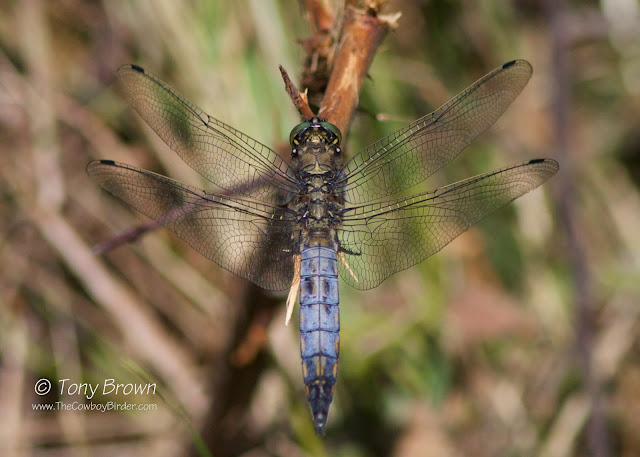 Dragonfly, Odonata