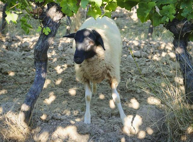 Schaf im Weinberg