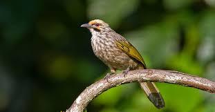 Pesona Burung Cucakrowo Si Burung Langka Dan Dilindungi