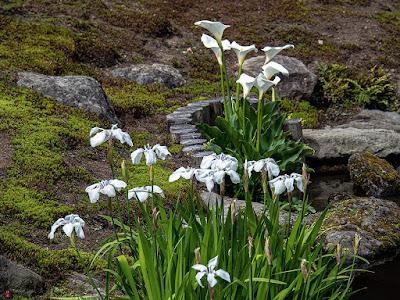 Kaiu (arum lily) and Kakitsubata (Iris laevigata) flowers:  Kaizo-ji