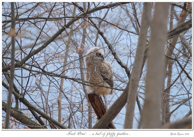 Fresh Pond: ... a ball of fluffy feathers...