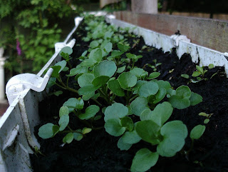 Watercress growing in a recycled gutter attached to a fence