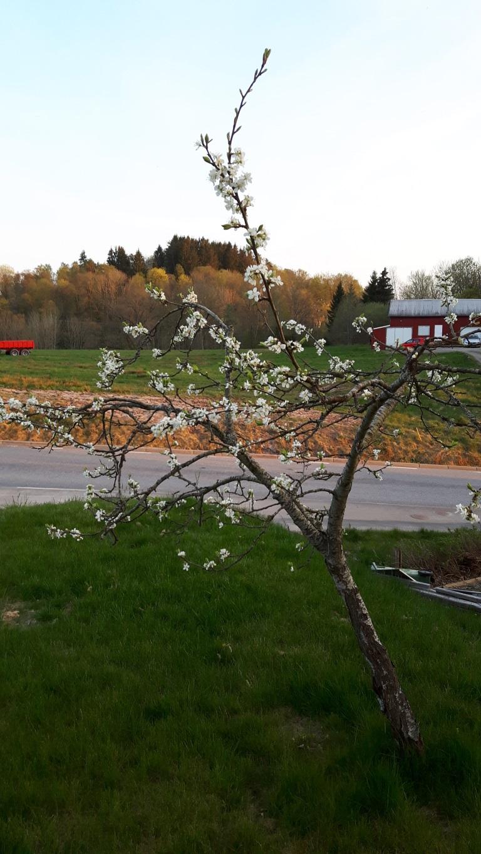 Min dröm om en levande fjärilsträdgård: Blommande plommon och körsbär