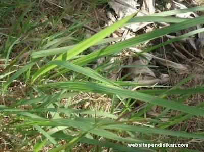 Daun ilalang bentuk tulang daunnya sejajar