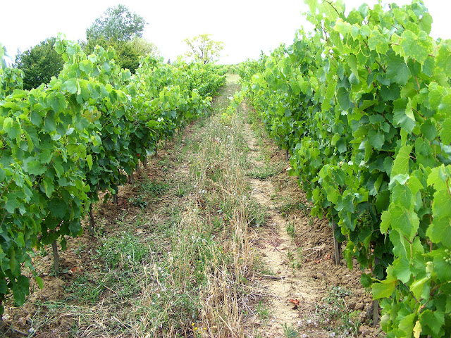 Grape vines.  Indre et Loire, France. Photographed by Susan Walter. Tour the Loire Valley with a classic car and a private guide.