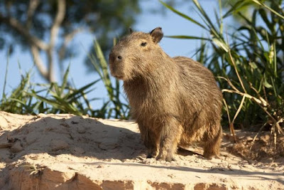 Identify this animal that looks like a huge rat (image)