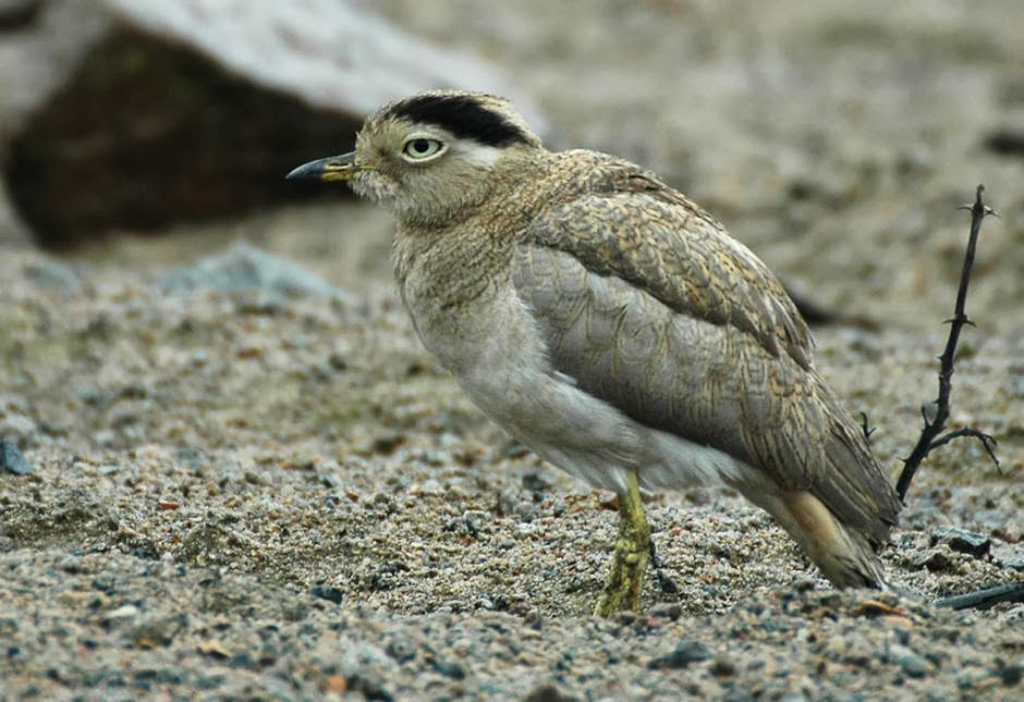 Peruvian thick knee