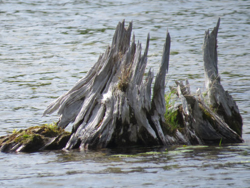 stump in the water