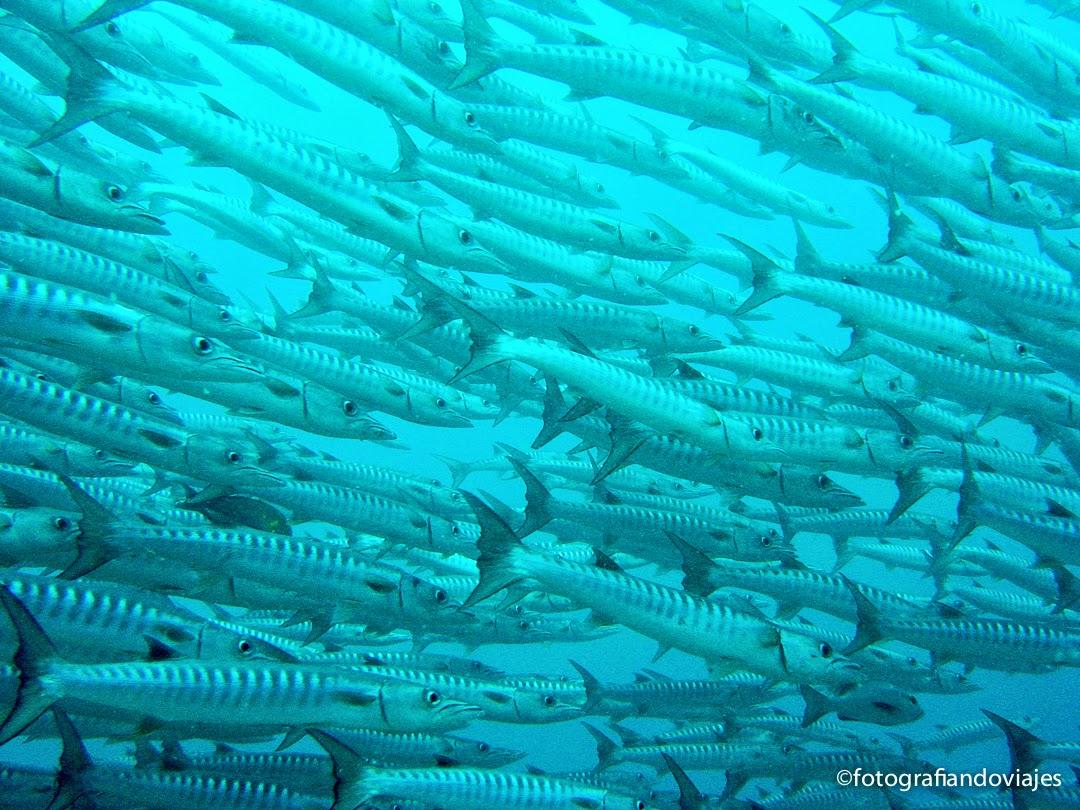 Cardumen de barracudas en Barracuda Point, Sipadan