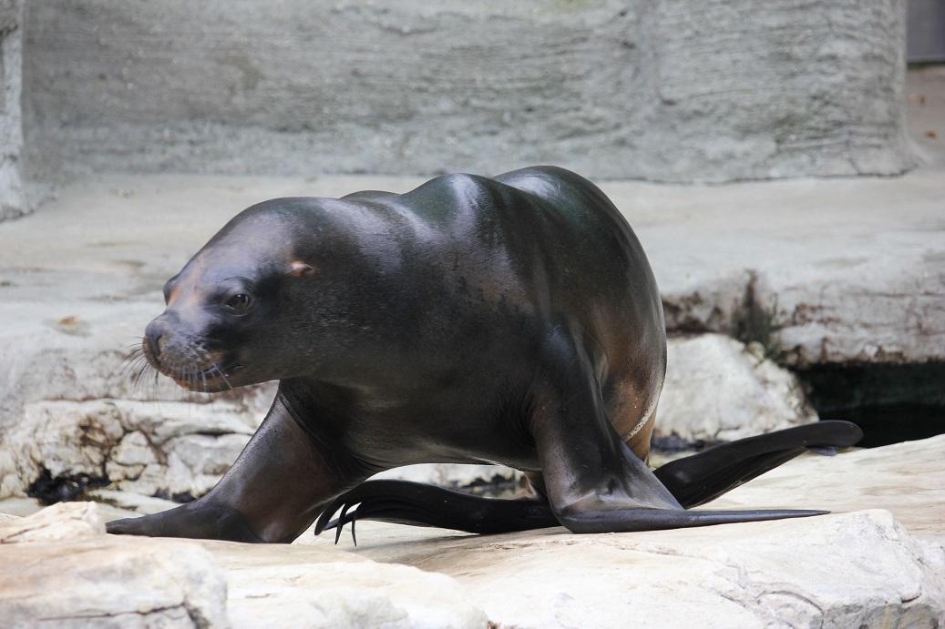 lachtan v zoologické zahradě Schönbrunn