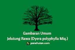 Gambaran Umum Jelutung Rawa (Dyera polyphylla Miq.)