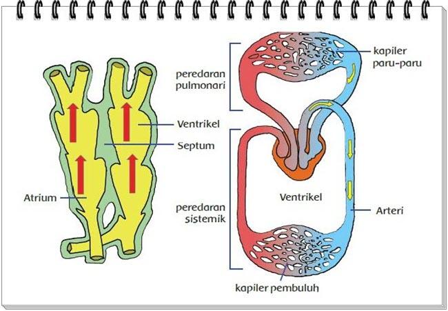 Organ Peredaran Darah Burung