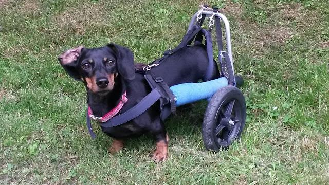 www.krummebeine.de Motte, Dackel mit Handicap