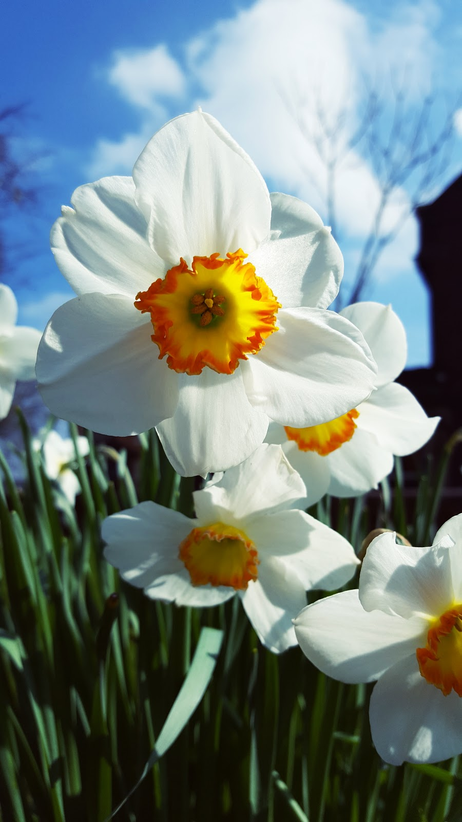 Blue skies And Daffodils: Spring In Chesterfield