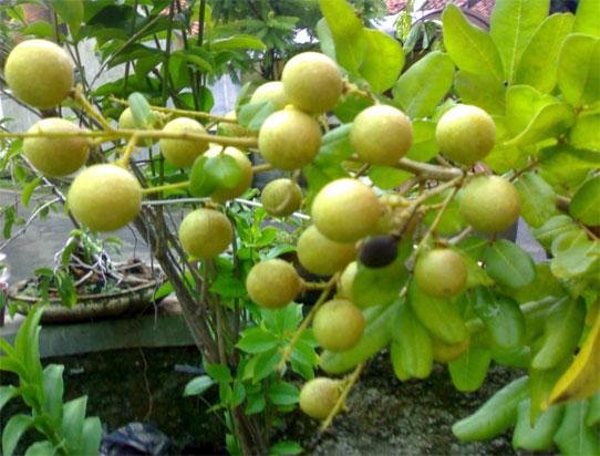 cara menanam buah kelengkeng agar cepat berbuah