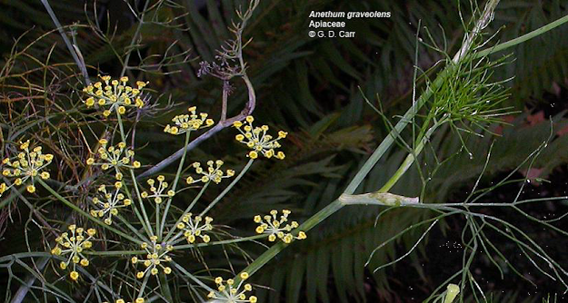 Synonyms: Apium ammi Crantz, Selinum ammoides E.H.L. Krause. Apiaceae are also known as Umbelliferae.