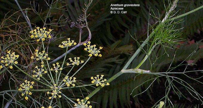 Medicinal properties of Fructus Ammi Majoris | Umbelliferous fruit